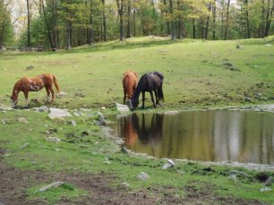 Horses have complete freedom to roam
